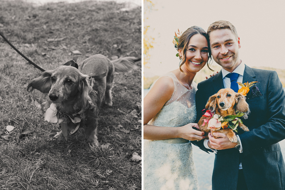 wedding dog puppy Dachshund